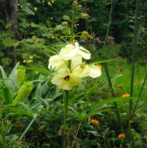 雨の朝に、トロロアオイの花が咲いたよ♪_a0136293_1223373.jpg