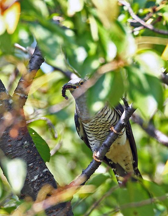 木陰の中の「ツツドリ(筒鳥)」くん♪ _d0195897_14105069.jpg