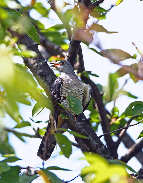 木陰の中の「ツツドリ(筒鳥)」くん♪ _d0195897_1495839.jpg