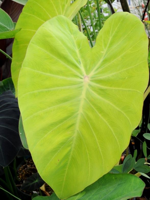 明るい葉色がキレイです♪ コロカシア レモネードなど ^^_f0191870_21183435.jpg
