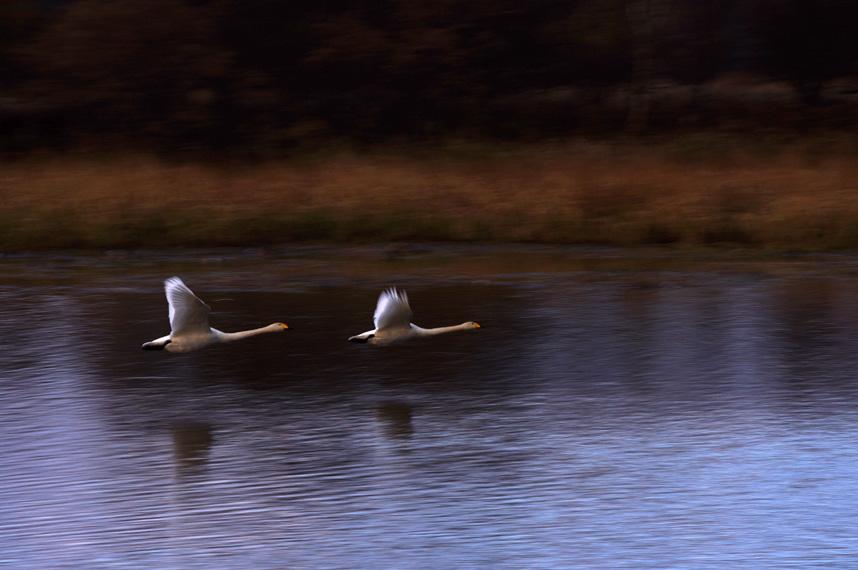 晩秋の白鳥たち_f0152939_14411591.jpg