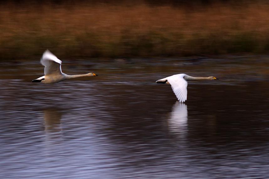 晩秋の白鳥たち_f0152939_14413621.jpg