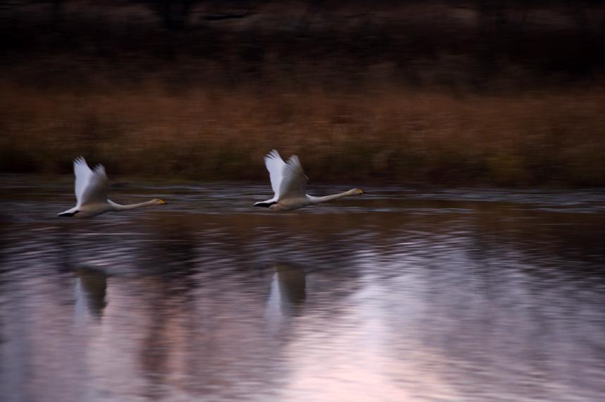 晩秋の白鳥たち_f0152939_14415613.jpg