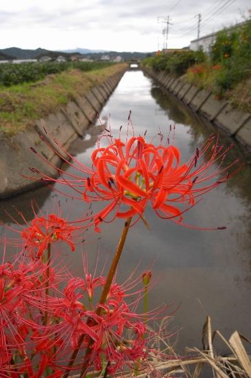 彼岸花の季節_b0114756_1115612.jpg