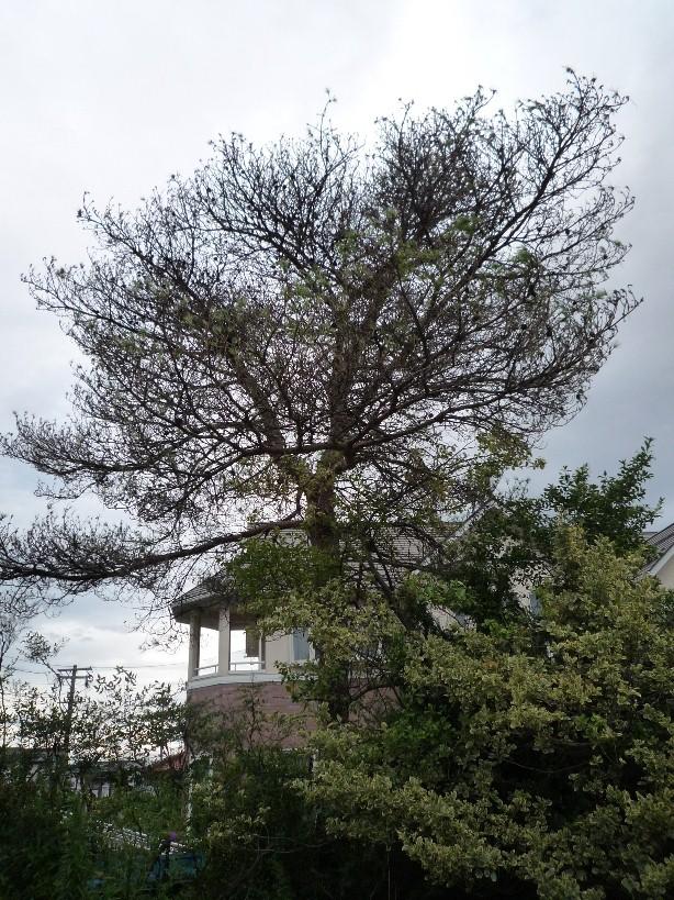 樹勢回復治療_c0112447_1425032.jpg
