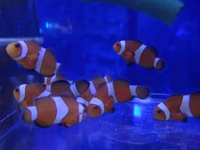 海水魚・熱帯魚・水草・金魚_f0189122_1382164.jpg