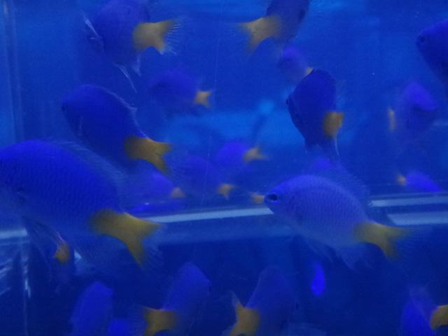 海水魚・熱帯魚・水草・金魚_f0189122_1391211.jpg