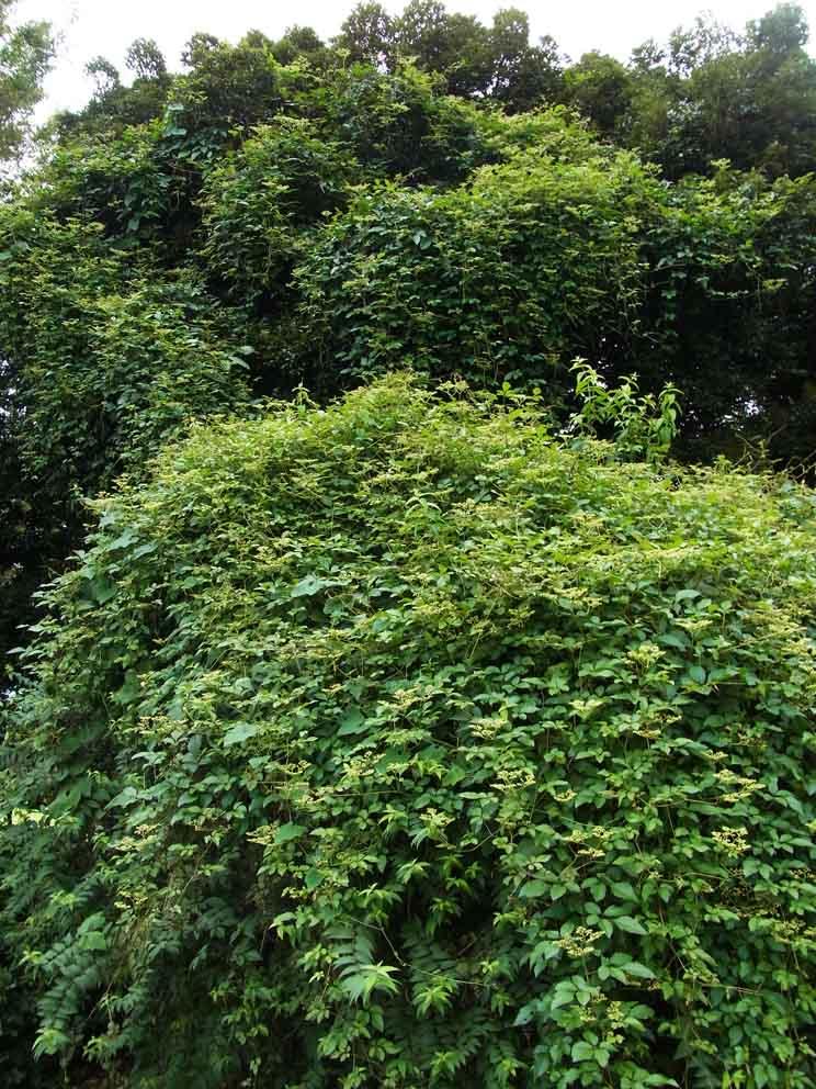 つる植物の話-4_d0163696_19382768.jpg