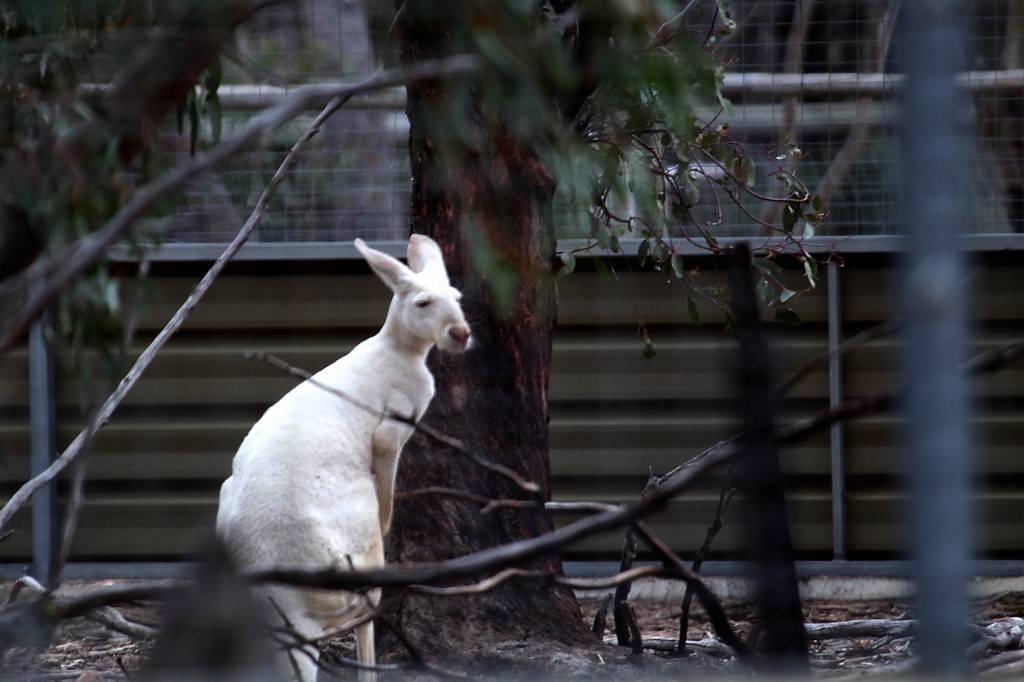 オーストラリアにて(2)・可愛いコクチョウの雛/白いカンガルー_b0024798_6365753.jpg