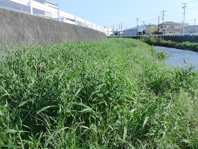 「秋の芋煮会」を目標?に今年3回目の小潤井川の草刈り清掃_f0141310_815591.jpg