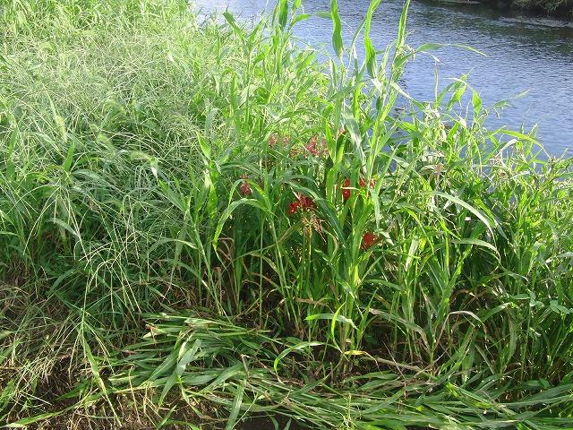 「秋の芋煮会」を目標?に今年3回目の小潤井川の草刈り清掃_f0141310_8171837.jpg