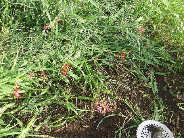 「秋の芋煮会」を目標?に今年3回目の小潤井川の草刈り清掃_f0141310_8173673.jpg