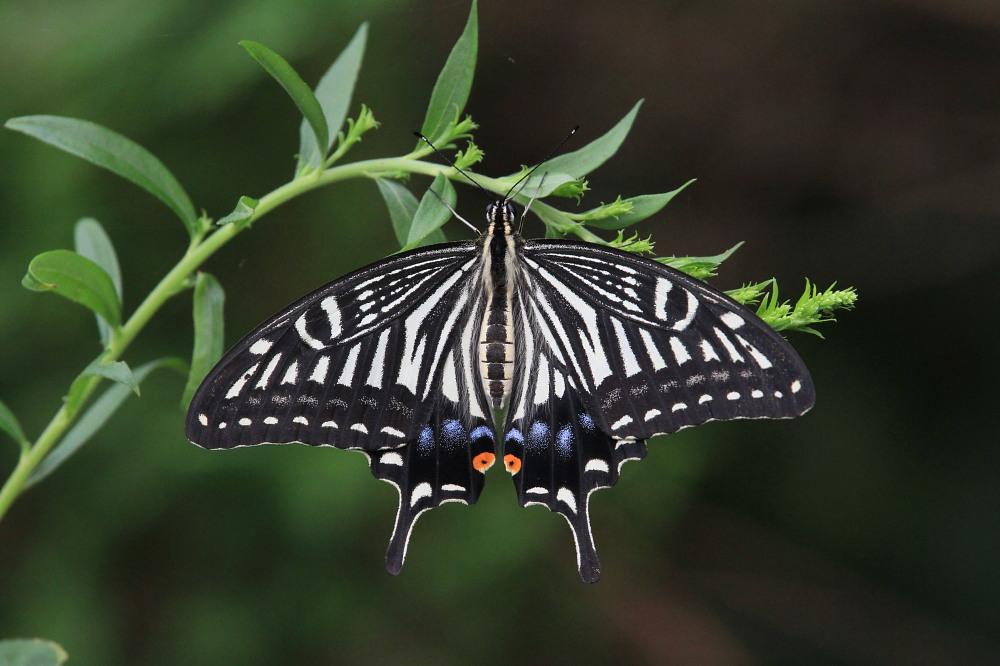 田舎でチョウの昆虫撮集でした。  2011.9.17山口県_a0146869_7514910.jpg