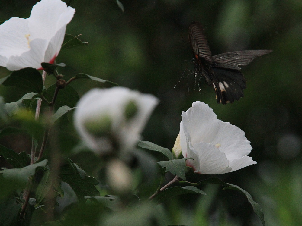 田舎でチョウの昆虫撮集でした。  2011.9.17山口県_a0146869_7522434.jpg