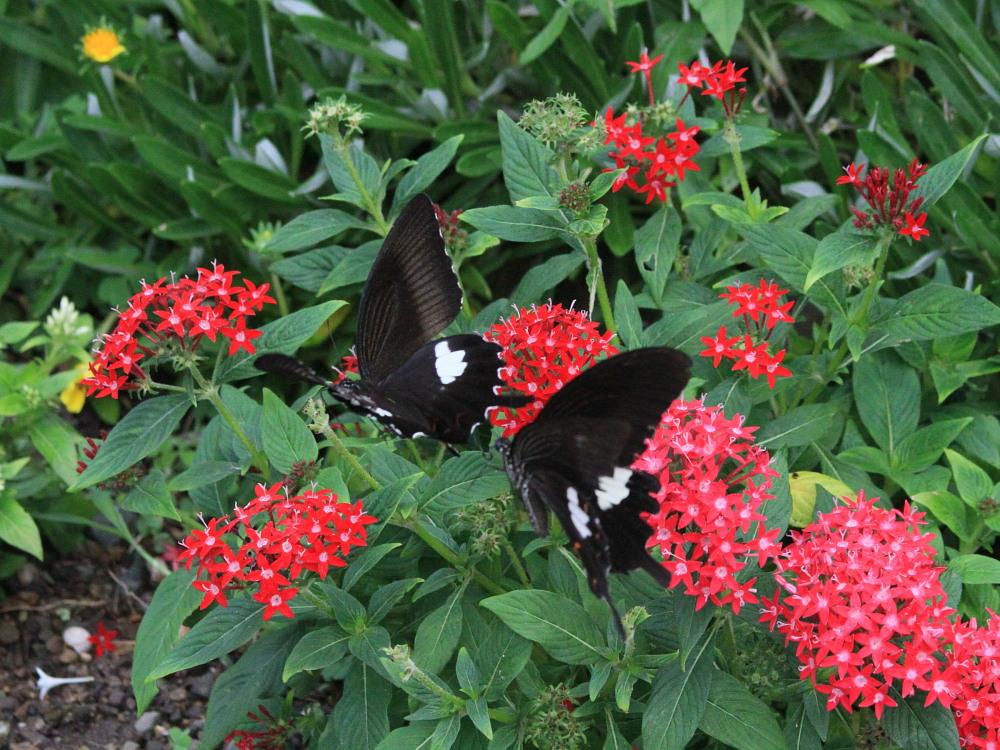 田舎でチョウの昆虫撮集でした。  2011.9.17山口県_a0146869_7524021.jpg