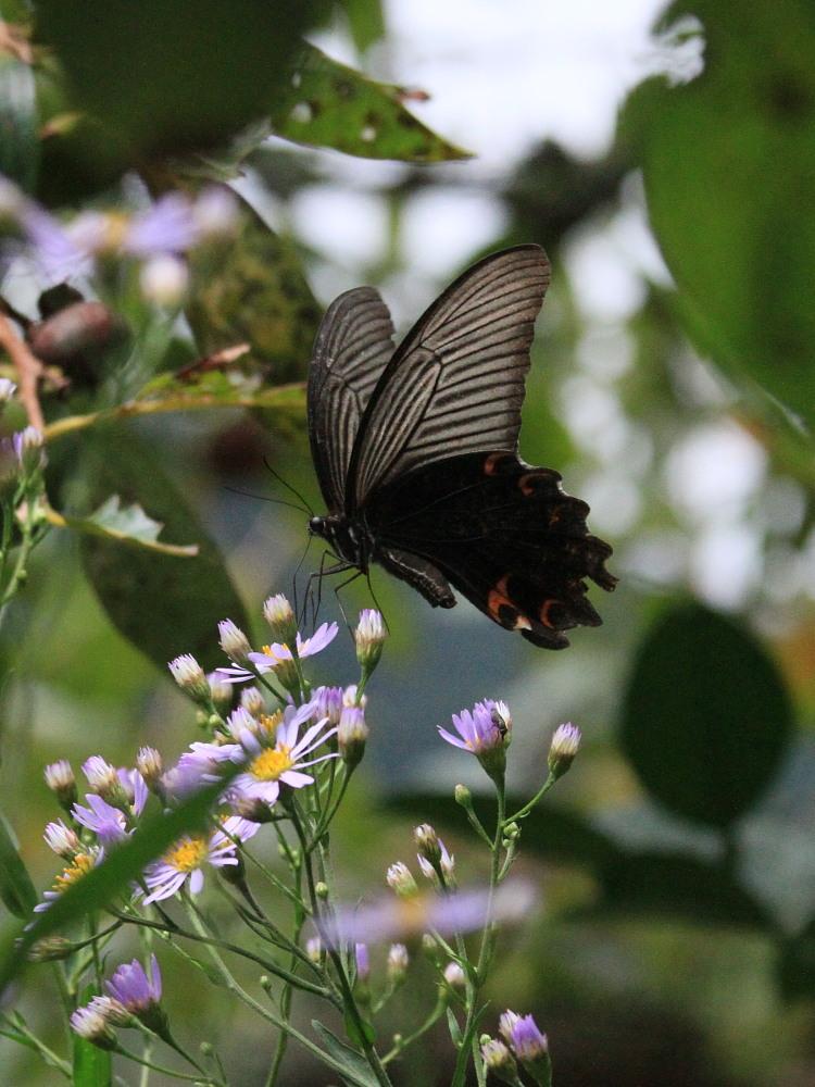 田舎でチョウの昆虫撮集でした。  2011.9.17山口県_a0146869_752547.jpg
