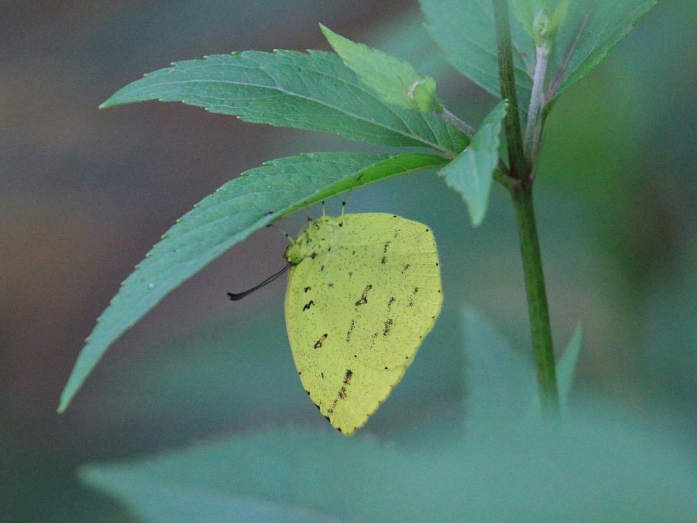 田舎でチョウの昆虫撮集でした。  2011.9.17山口県_a0146869_7525686.jpg