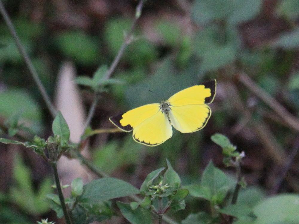 田舎でチョウの昆虫撮集でした。  2011.9.17山口県_a0146869_7531325.jpg