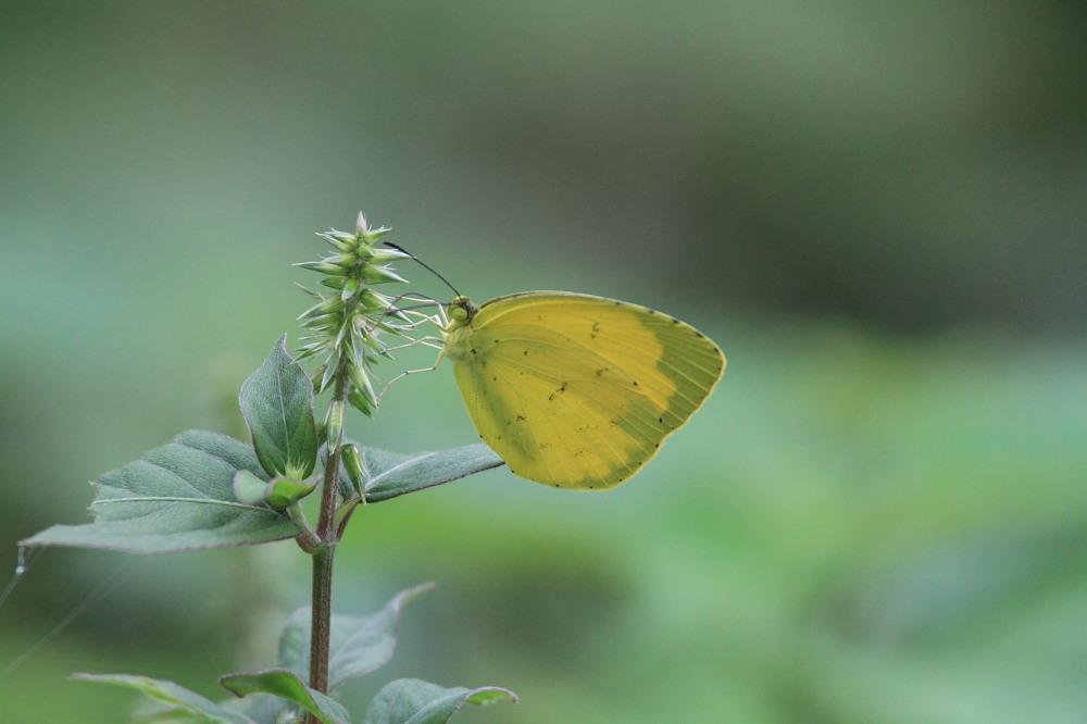 田舎でチョウの昆虫撮集でした。  2011.9.17山口県_a0146869_7532520.jpg