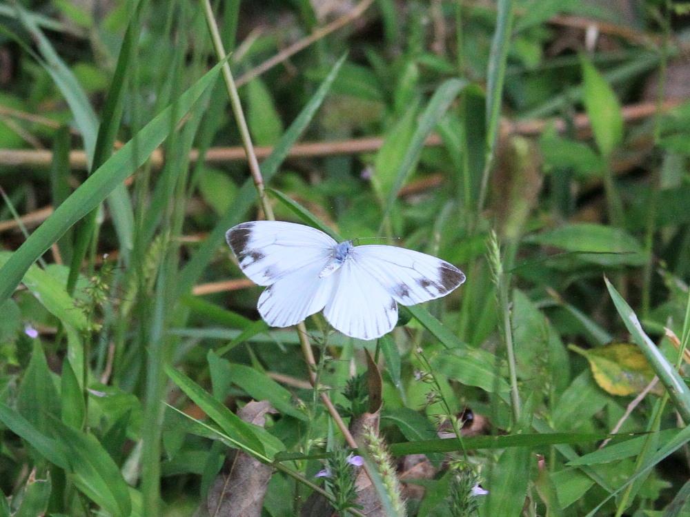 田舎でチョウの昆虫撮集でした。  2011.9.17山口県_a0146869_7535041.jpg