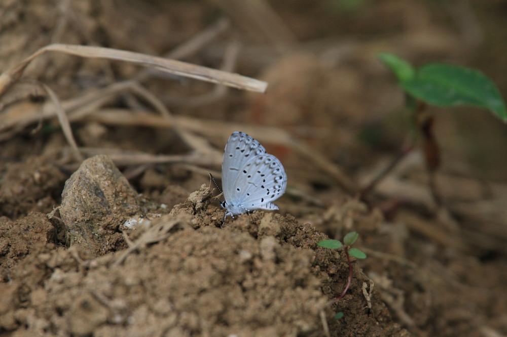 田舎でチョウの昆虫撮集でした。  2011.9.17山口県_a0146869_754401.jpg