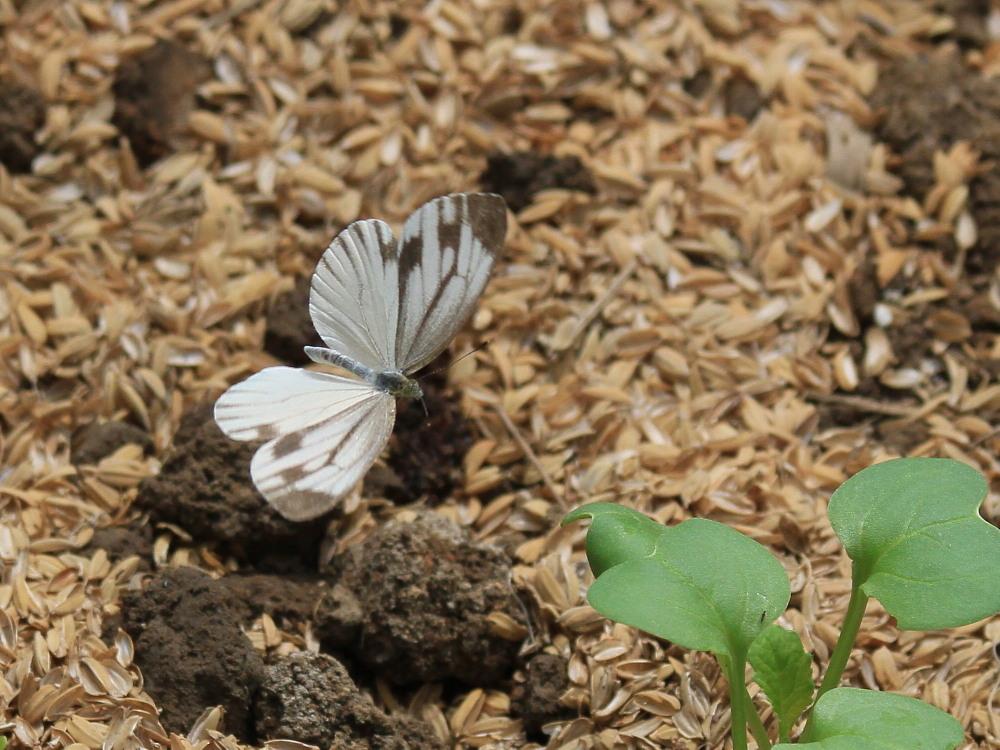 田舎でチョウの昆虫撮集でした。  2011.9.17山口県_a0146869_754548.jpg