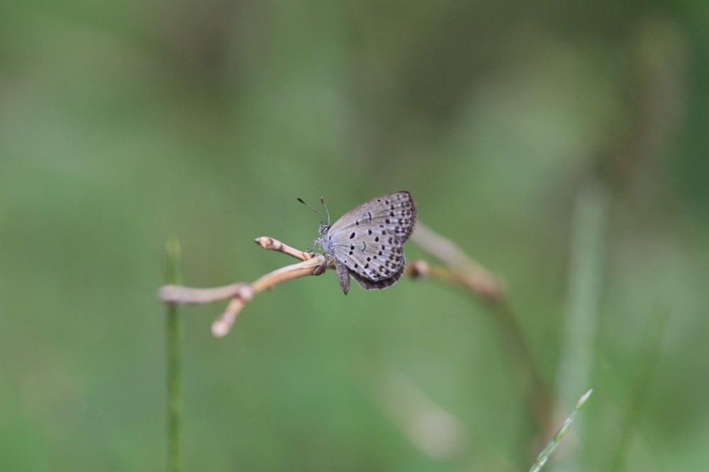 田舎でチョウの昆虫撮集でした。  2011.9.17山口県_a0146869_7553952.jpg
