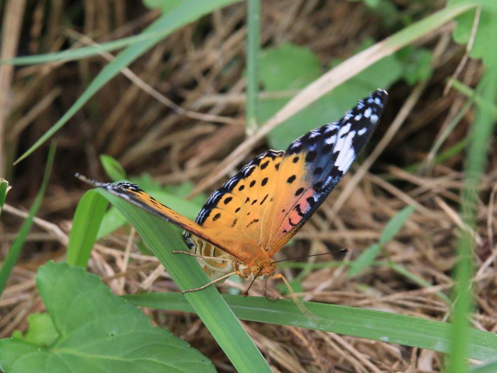田舎でチョウの昆虫撮集でした。  2011.9.17山口県_a0146869_757471.jpg