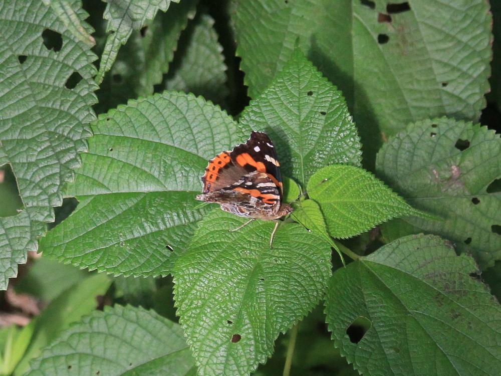 田舎でチョウの昆虫撮集でした。  2011.9.17山口県_a0146869_7582214.jpg