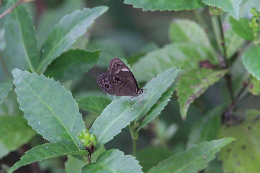 田舎でチョウの昆虫撮集でした。  2011.9.17山口県_a0146869_7583912.jpg