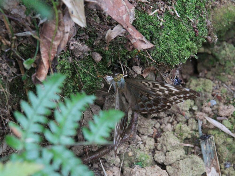 田舎でチョウの昆虫撮集でした。  2011.9.17山口県_a0146869_758649.jpg