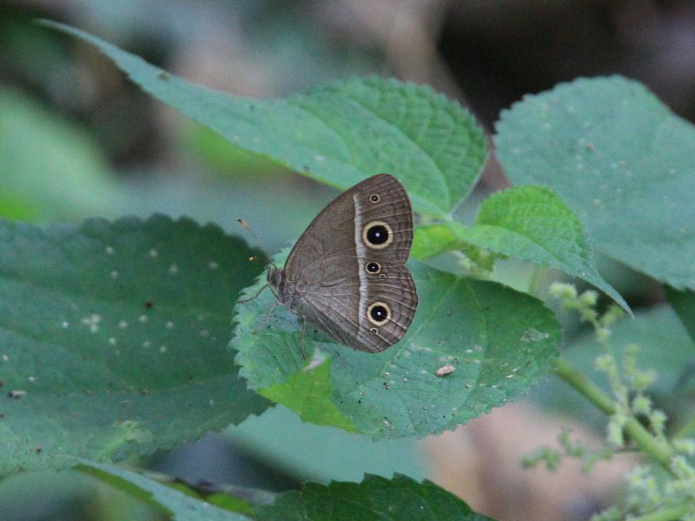 田舎でチョウの昆虫撮集でした。  2011.9.17山口県_a0146869_7592336.jpg