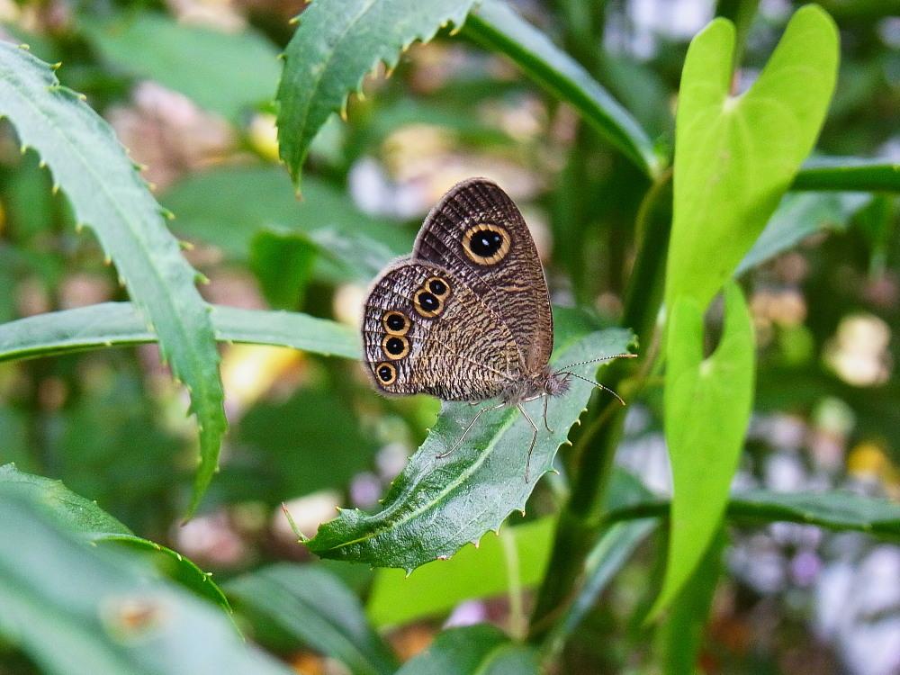 田舎でチョウの昆虫撮集でした。  2011.9.17山口県_a0146869_7595410.jpg
