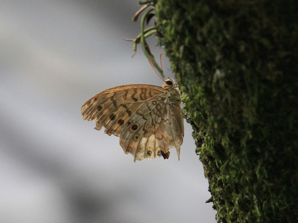 田舎でチョウの昆虫撮集でした。  2011.9.17山口県_a0146869_759760.jpg