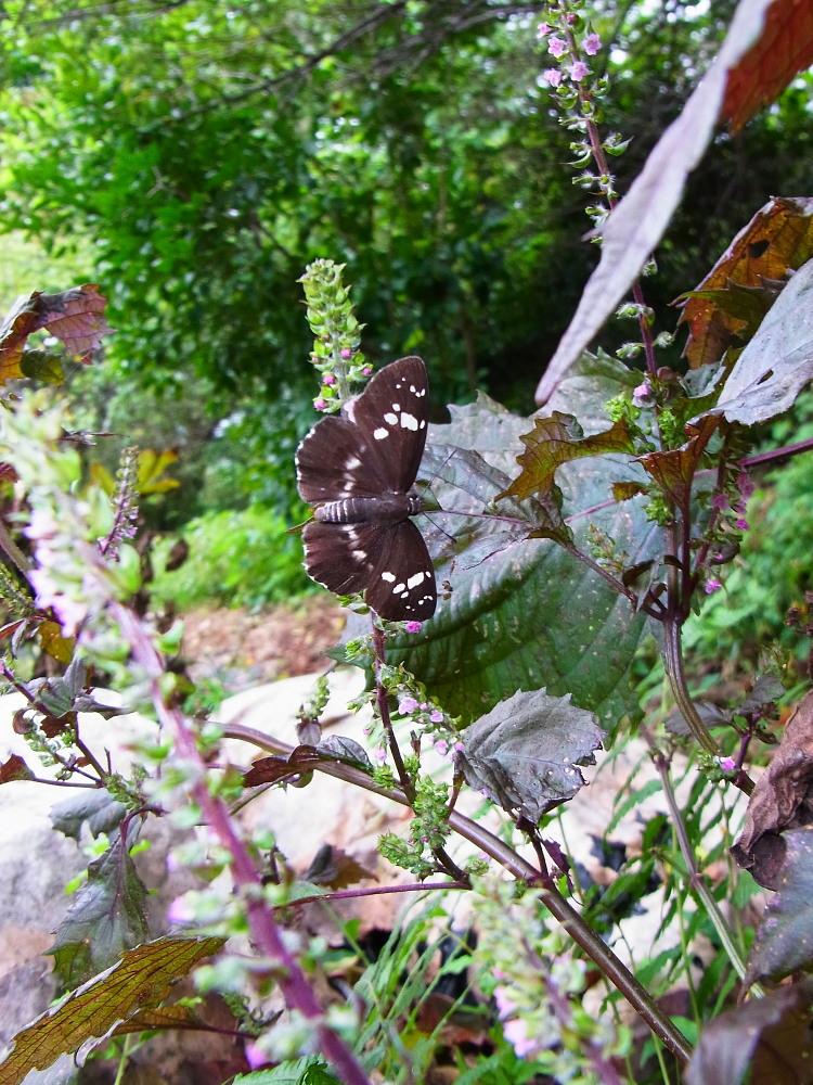 田舎でチョウの昆虫撮集でした。  2011.9.17山口県_a0146869_801424.jpg
