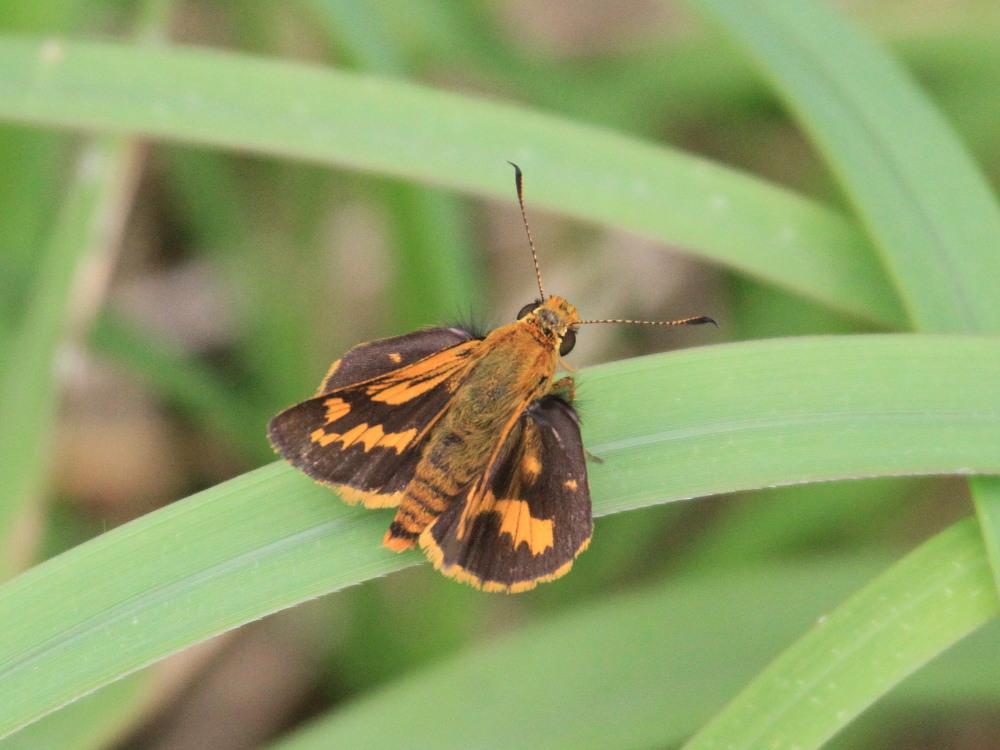 田舎でチョウの昆虫撮集でした。  2011.9.17山口県_a0146869_811445.jpg