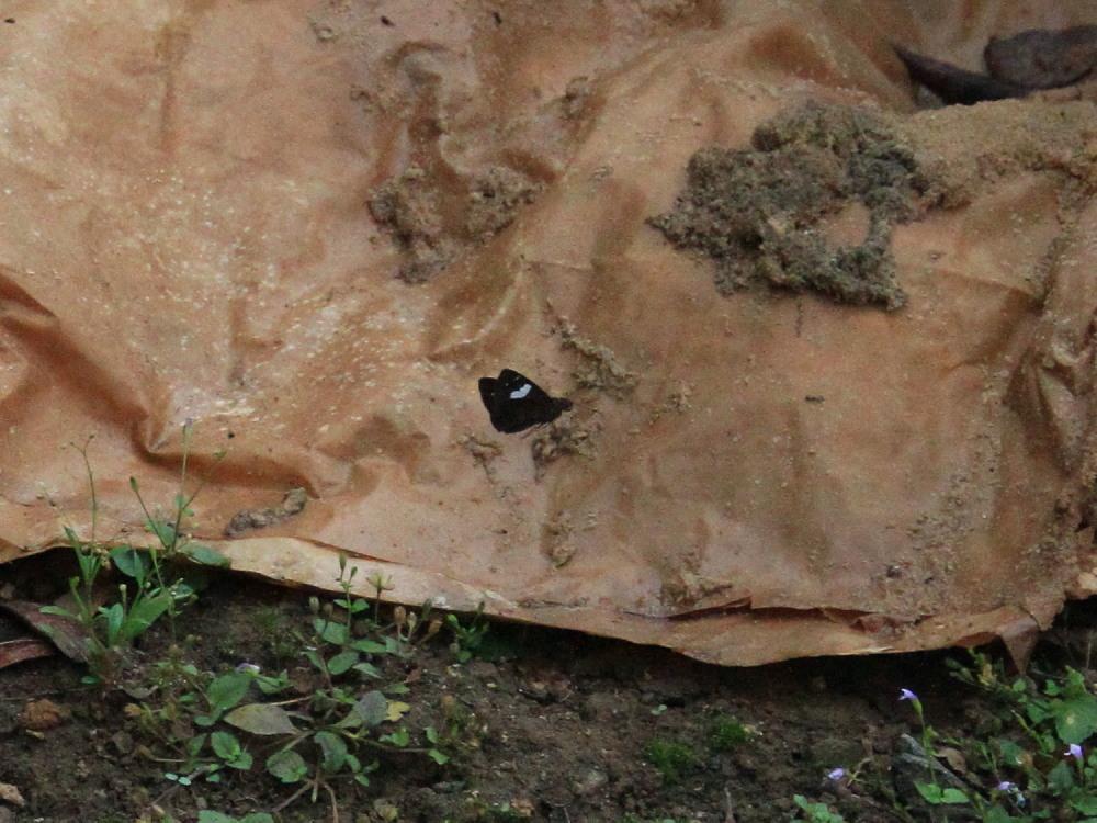 田舎でチョウの昆虫撮集でした。  2011.9.17山口県_a0146869_825459.jpg