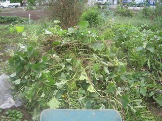 さつまいも収穫_a0139242_0302819.jpg