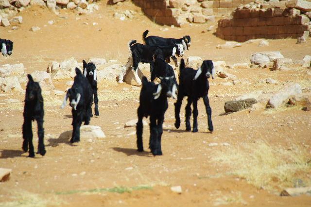 【スーダン周遊】 ムサワラット遺跡 (2) 黒ヤギの群れと遺跡_c0011649_23464527.jpg