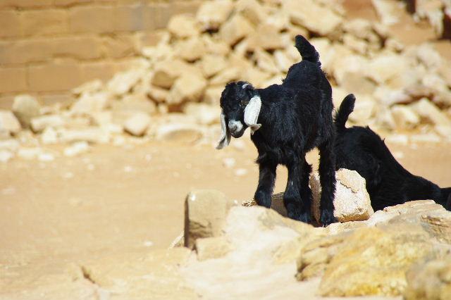 【スーダン周遊】 ムサワラット遺跡 (2) 黒ヤギの群れと遺跡_c0011649_2347577.jpg