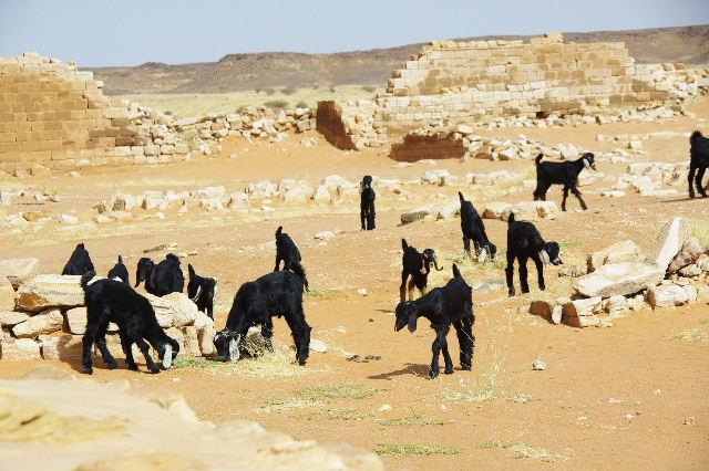 【スーダン周遊】 ムサワラット遺跡 (2) 黒ヤギの群れと遺跡_c0011649_234778.jpg
