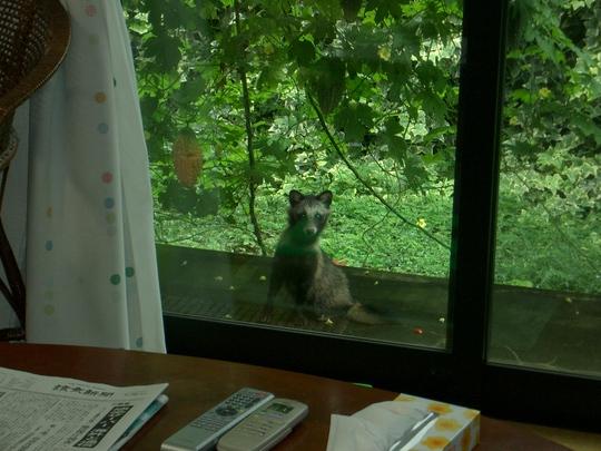 息子の家の庭にタヌキの訪問_d0116059_20242627.jpg