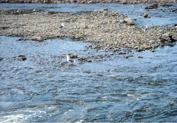 増毛町/暑寒別川に鮭が帰ってきた_f0227323_1927138.jpg