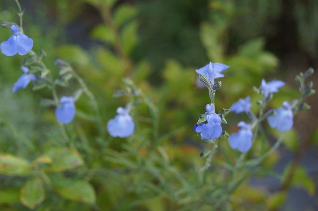 シソ科植物の季節に_e0181373_20155642.jpg