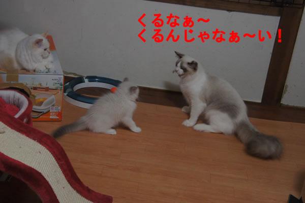 天真爛漫な仔猫が一番強いね(笑_a0188883_23554561.jpg