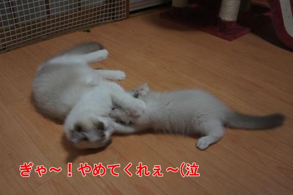 天真爛漫な仔猫が一番強いね(笑_a0188883_23572858.jpg
