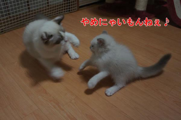 天真爛漫な仔猫が一番強いね(笑_a0188883_23581879.jpg