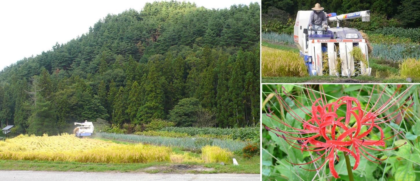 安曇野 稲刈りとヒガンバナ_a0212730_7191837.jpg