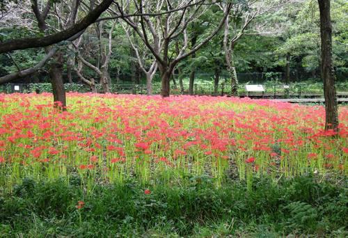 野川公園の彼岸花(曼珠沙華)と台風15号の爪痕_e0223735_1631470.jpg