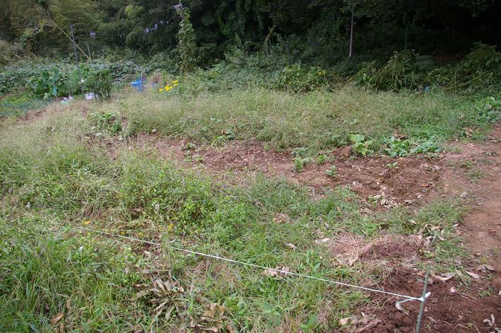 ダイコンなど発芽、営農面積拡大へ(2011・9・26)_c0014967_12562421.jpg